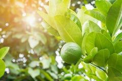 Chaux vertes fraîches de citron sur l'arbre dans le jardin Images libres de droits