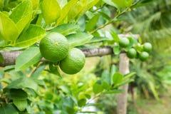 Chaux vertes fraîches de citron sur l'arbre dans le jardin Images stock