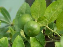 Chaux vertes sur un arbre Photographie stock