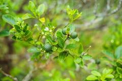 Chaux vertes sur un arbre La chaux est des agrumes hybrides, qui sont t Image stock