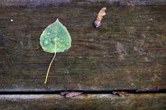 Chave geada da folha e do bordo do álamo Fotografia de Stock