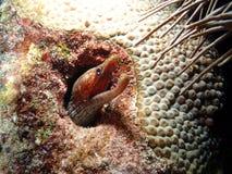 Chaves de Florida da enguia da víbora Imagens de Stock