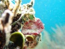 Chaves de Florida do caranguejo de Roughback Imagens de Stock