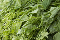 Chayote Leaves Royalty Free Stock Image