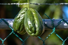 Chayote Mirliton Squash a pear shaped vegetable also known as ChoCho. Chayote Mirliton Squash a pear shaped vegetable known in Jamaica as ChoCho royalty free stock image