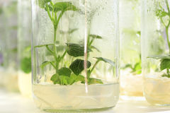 Chayote in plant tissue culture at the laboratory Royalty Free Stock Image