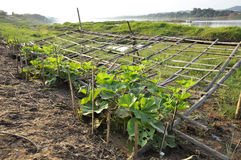 Chayote Plot Farm Seedling Vegetable Outdoor Stock Image