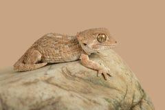 Chazaliae casqués de Tarentola de gecko photos stock