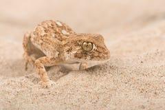 Chazaliae casqués de Tarentola de gecko photo libre de droits