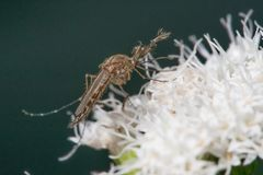 Che cosa sembra essere specie di un insetto della zanzara su un fiore bianco - Minnesota contenuto immagine stock
