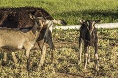 Che cosa stanno esaminando, aziende agricole delle capre di Paonia Fotografia Stock Libera da Diritti