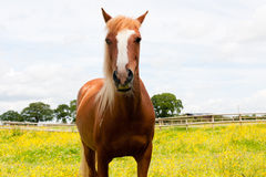 Che cosa voi che esaminate? cavallo che esamina macchina fotografica. Fotografia Stock