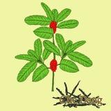 Che Dang Ejemplo de una planta en un vector con la baya para el uso Imagen de archivo libre de regalías