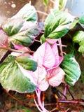 Che ` s sbagliato con le foglie? fotografia stock libera da diritti