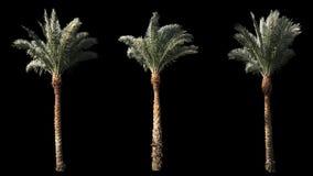 3 che soffiano sulle belle palme tropicali reali a grandezza naturale verdi del vento video d archivio