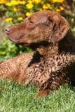 Cheasapeake Schacht-Apportierhund, der in der Sonne sich aalt Stockbilder