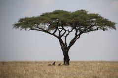 Cheatas die onder een boom rusten Stock Afbeeldingen