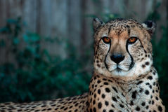 Cheath. Animal at zoo Stock Image