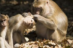 Check the baby monkey ticks. Royalty Free Stock Photography