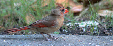 Check the crest- Young Cardinal Royalty Free Stock Images