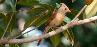 Check out that crest- Young Cardinal Stock Images