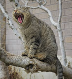 Check Out My Teeth. Cat sitting on a tree on a branch yawning with big fangs in Utah USA Stock Images