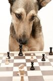 Check! Playing Chess like a dog. Dog playing Chess. Isolated on white and focus on chess king. Please comment after download Royalty Free Stock Images