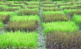 Checked design of paddy field. Between  black sticky rice or purple rice  dark colour  and thai jasmine rice or thai hom mali  green colour Stock Image
