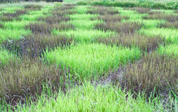Checked design of paddy field. Between  black sticky rice or purple rice  dark colour  and thai jusmine rice or thai hom mali  green colour Royalty Free Stock Photos