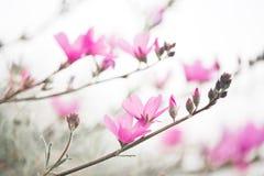 Checker Mallow. Wildflower, Checker Mallow, Sidalcea malvaeflora royalty free stock images