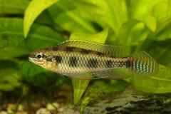 Checkerboard νάνος ψαριών ενυδρείων maculatus Cichlid Dicrossus cichlid στοκ εικόνες με δικαίωμα ελεύθερης χρήσης