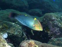 Checkerboard ψαριών κοραλλιών wrasse Στοκ Φωτογραφίες
