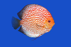 Checkerboard Discus fish Stock Photography
