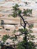 checkerboard meas NP δέντρο zion Στοκ Εικόνα