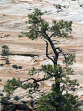 Checkerboard Meas and Tree, Zion NP Stock Image
