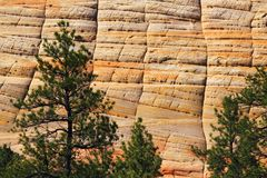 Pine Trees at Checkerboard Mesa, Zion National Park, Utah Royalty Free Stock Photography