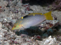 Checkerboard wrasse. In Bohol sea, Phlippines Islands Stock Photos