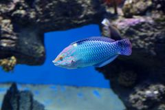 Checkerboard wrasse fish. stock images