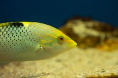 Checkerboard wrasse Halichoeres hortulanus stock photos