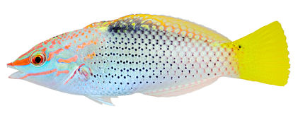 Checkerboard Wrasse. Halichoeres hortulanus. Checkerboard Wrasse isolated on white background. Halichoeres hortulanus stock images