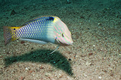 Checkerboard wrasse (Halichoeres hortulanus) Stock Photo