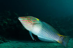 Checkerboard wrasse (Halichoeres hortulanus) Royalty Free Stock Photo