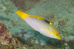 Checkerboard Wrasse (Halichoeres hortulanus). Downward darting Checkerboard Wrasse (Halichoeres hortulanus Stock Photography