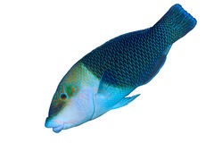 Checkerboard wrasse Stock Photography