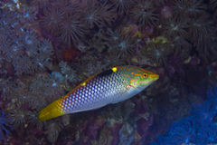 Checkerboard wrasse Stock Image