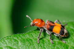 Checkered Beetle. Red Black and Orange Checkered Beetle on a Green Leaf Stock Photography