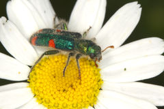 Checkered beetle Trichodes quadriguttatus Stock Image