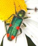 Checkered beetle Trichodes quadriguttatus. In a natural habitat Stock Photo