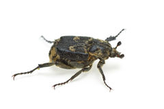 Checkered beetle (Valgus hemipterus) Royalty Free Stock Photo