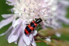 Checkered Beetles Trichodes apiarius. Beetle on a lilac flower, Checkered Beetle, Macrofoto, Beetle sittin on a flower Royalty Free Stock Photos